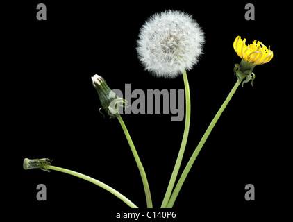 Stage of development dandelion, isolated on black - Stock Photo