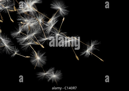 Seeds of dandelion are flying, isolated on black - Stock Photo