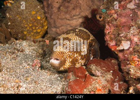 Map Puffer (Arothron mappa) on a tropical coral reef in the Lembeh Strait in North Sulawesi, Indonesia. - Stock Photo