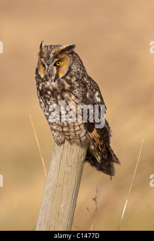 Long eared owl perched on fencepost-Boundary Bay, Vancouver, British Columbia, Canada. - Stock Photo