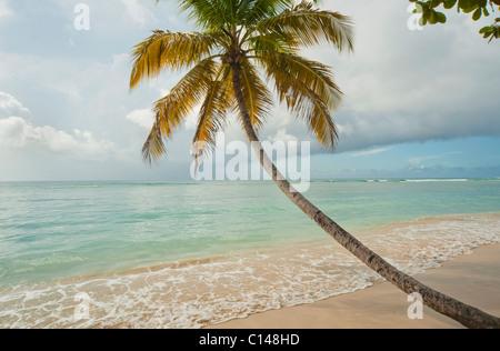 Coconut tree on tropical beach, Pigeon Point, Tobago, Caribbean - Stock Photo