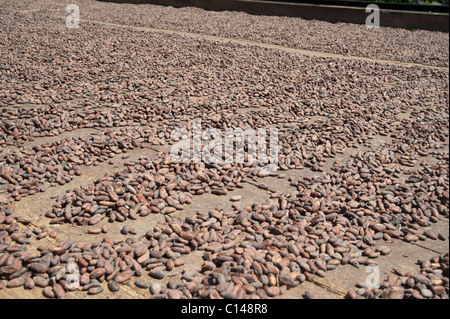 Cocoa seeds drying, Brazil, South America. - Stock Photo