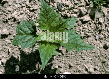 Maple-leaved goosefoot (Chenopodium hybridum) plant - Stock Photo