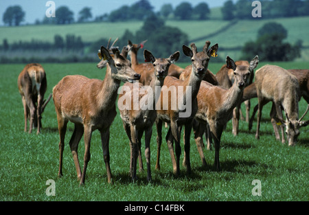 Young farmed red deer on grass pastrure, Hereford - Stock Photo