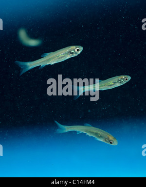 Fathead minnows (Pimephales promelas) fish used in ecological studies - Stock Photo
