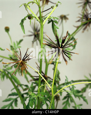 Spanish needles (Bidens bipinnata) seeding plant with spikey seedheads - Stock Photo