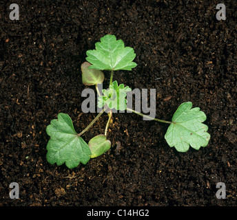 Musk mallow (Malva moschata) seedling cotyledon and three true leaves - Stock Photo