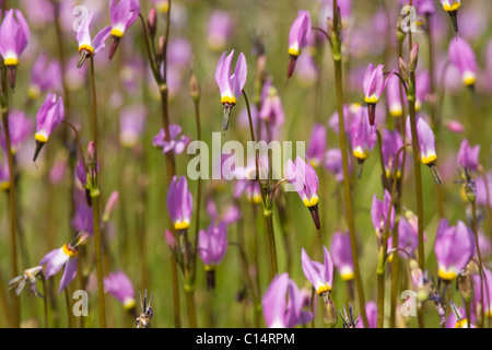 A closeup of pink Shooting Star flowers in a meadow near Lake Tahoe in California - Stock Photo