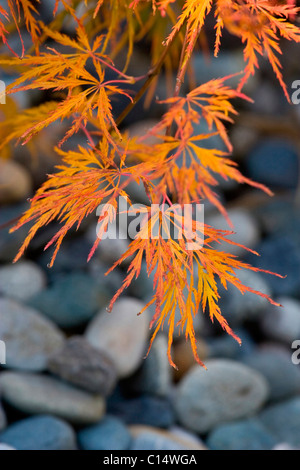 Laceleaf Japanese Maples turning orange and red, river rock in the background - Stock Photo