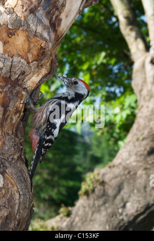 Middle Spotted Woodpecker bringing food to its nest - Stock Photo