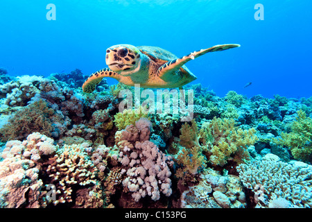 A lone Hawksbill Sea Turtle Swims Close to the Hard Coral Reef in the Egyptian Red Sea - Stock Photo