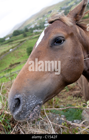 A picture of the head of a brown horse in a field in Western Ireland - Stock Photo
