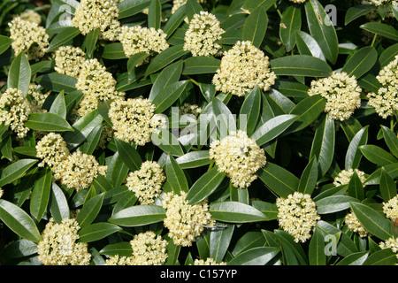 Japanese Skimmia, Skimmia japonica, Rutaceae. - Stock Photo