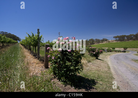 Rows of young grapevines growing in a vineyard in the McLaren Vale wine growing area of South Australia. - Stock Photo
