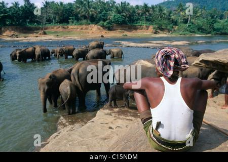 Elephants in the Maha Oya River at an elephant orphanage, Pinnawela, Sri Lanka, South Asia - Stock Photo
