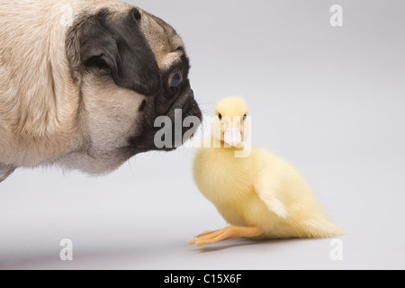 Pug dog and duckling, studio shot - Stock Photo