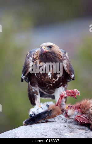 Golden Eagle; Aquila chrysaetos; on a dead fox; Norway
