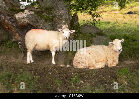 An inquisitive ewe with lamb in the Welsh hills, Gilfach Nature Reserve Rhayader Powys Wales UK. - Stock Photo