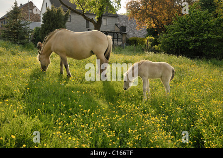 Norwegian Pony, fiord mare with foal in spring pasture - Stock Photo