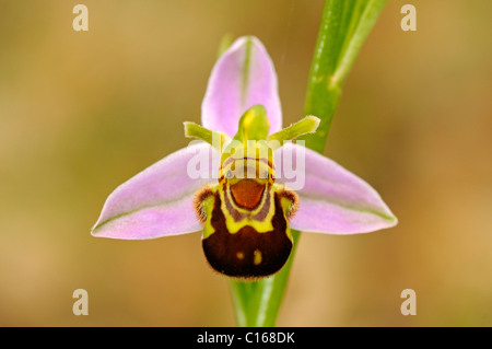 Bee Orchid (Ophrys apifera) - Stock Photo