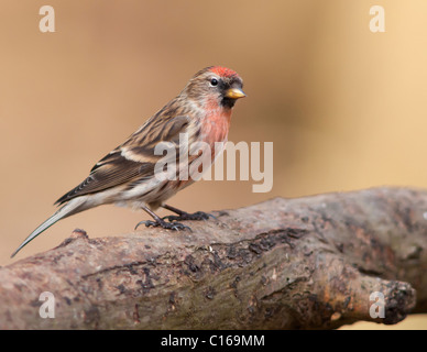 Male Lesser Redpoll (Carduelis cabaret) perched - Stock Photo