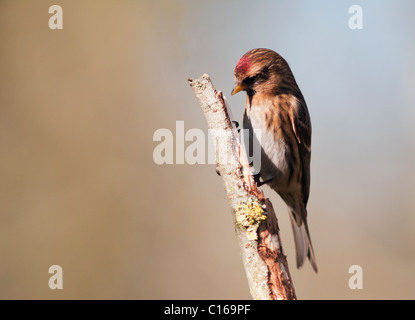 Lesser Redpoll (Carduelis cabaret) perched on branch - Stock Photo