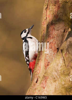 Great Spotted Woodpecker (Dendrocopos major) on tree trunk looking for insects - Stock Photo