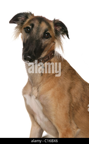 Saluki Single adult portrait in a studio UK - Stock Photo