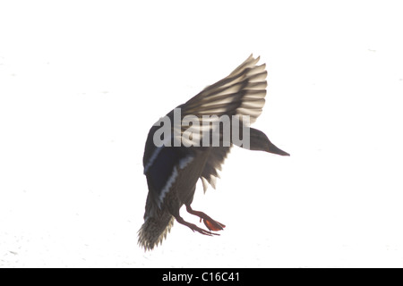 Female mallard (anas platyrhynchos) in flight, winter, Yorkshrie, UK - Stock Photo