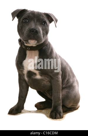 Staffordshire Bull Terrier Single puppy sitting in studio UK - Stock Photo