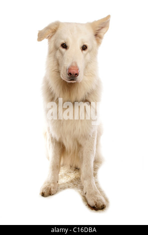 White German Shepherd Single adult portrait in a studio UK - Stock Photo