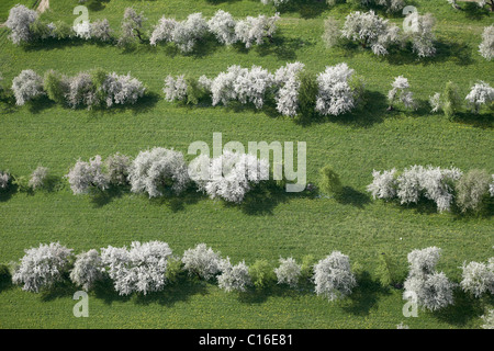 Fruit trees in bloom near Lendorf, aerial view, Drautal Valley, Carinthia, Austria, Europe - Stock Photo