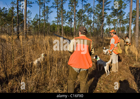 Upland Bird Hunters, Guide, English Cocker Spaniel and English Setters during Bobwhite Quail Hunt in the Piney Woods - Stock Photo