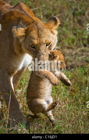 Lion (Panthera leo), lioness carrying cub in mouth, Masia Mara, national park, Kenya, East Africa - Stock Photo