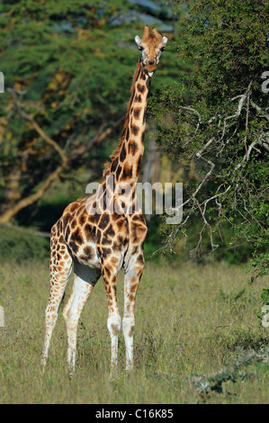Rothschild Giraffe (Giraffa camelopardalis rothschildi), Lake Nakuru, national park, Kenya, East Africa - Stock Photo