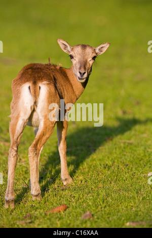 Young mouflon (Ovis ammon musimon) - Stock Photo