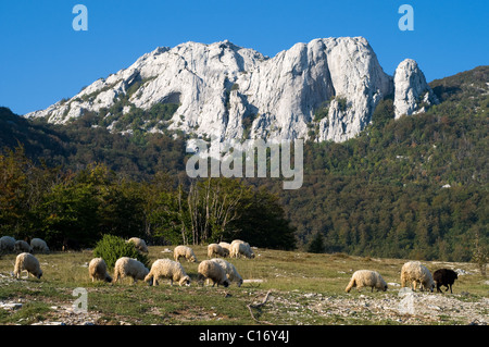 Sheep grazing on the slopes of Velebit nature park in Croatia - Stock Photo
