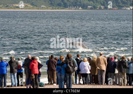 Bottlenose dolphin (Tursiops truncatus) , Moray firth, Scotland, UK. People watching from shore at Chanonry Point - Stock Photo