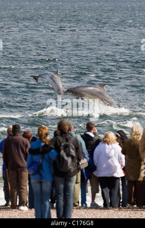 Bottlenose dolphin (Tursiops truncatus) , Moray firth, Scotland, UK. People watching dolphins from shore at Chanonry - Stock Photo