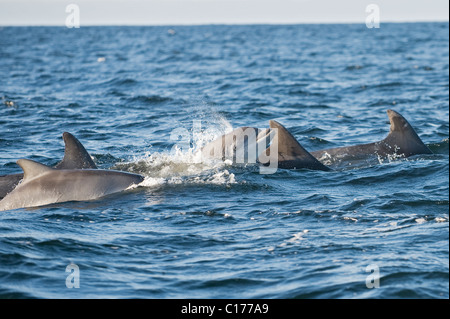 Bottlenose dolphin (Tursiops truncatus) , Moray firth, Scotland, UK. Adults and calf - Stock Photo