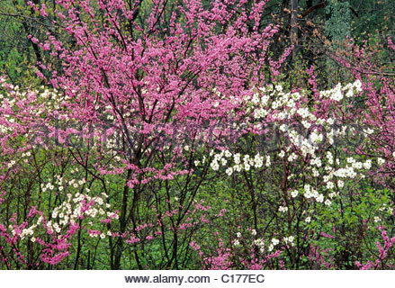 Redbud And Dogwood Trees In Bloom Gettysburg National