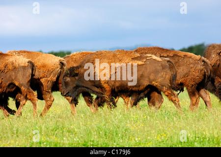 American Bison (Bison bison), roaming herd of cattle - Stock Photo