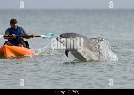 Solitary sociable Bottlenose dolphin (Tursiops truncatus) playing with kayaker. Folkestone, Kent, UK - Stock Photo