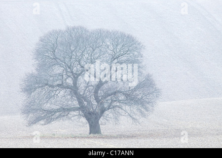 Sweet Chestnut, Castanea sativa, in winter, Salisbury Plain, Wiltshire,  England, UK, United Kingdom, GB, Great - Stock Photo