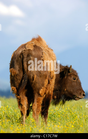 American Bison (Bison bison) in change of coat from winter to summer - Stock Photo