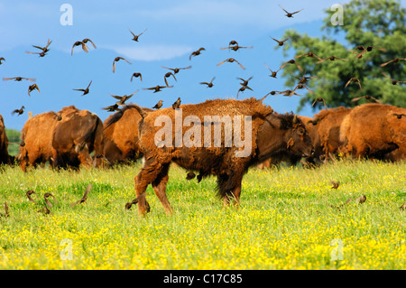 A flock of birds settling on an American Bison (Bison bison), in search of vermin in winter coat - Stock Photo