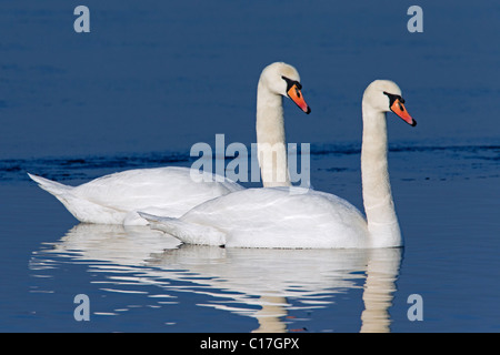 Mute swans (Cygnus olor) swimming on lake in winter, Germany - Stock Photo