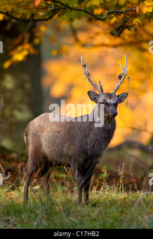 Sika deer (Cervus nippon) stag in autumn forest, Denmark - Stock Photo