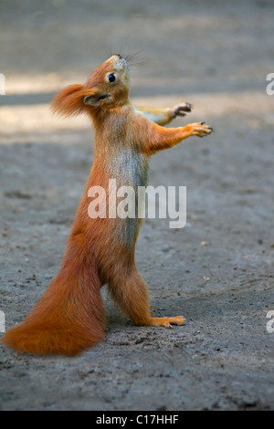 Eurasian red squirrel (Sciurus vulgaris) standing upright on the ground begging for food, Germany - Stock Photo