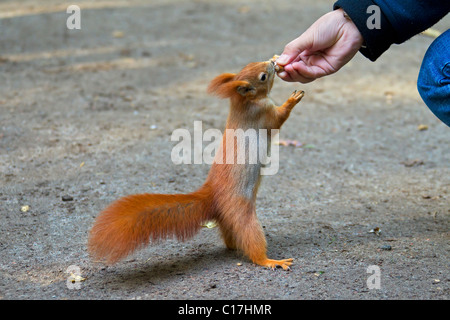 Eurasian red squirrel (Sciurus vulgaris) standing upright on the ground and grabs nut from hand, Germany - Stock Photo
